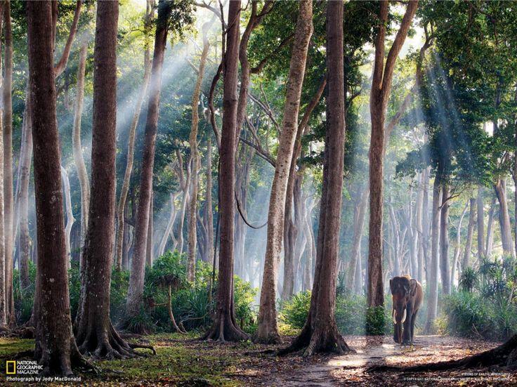 Fotografia di Jody MacDonaldAll'alba, gli alberi della foresta pluviale dell'Isola di Havelock torreggiano su un visitatore mattiniero. Rajan, un elefante asiatico un tempo utilizzato per trasportare tronchi, oggi trascorre le giornate tra passeggiate e tuffi nel mare delle Andamane.