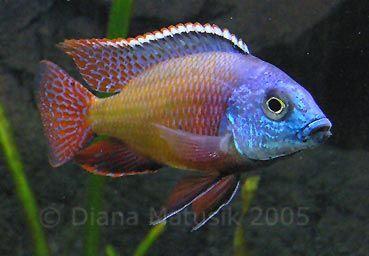 Haplochromis/Protomelas taeniolatus  Red Empress, Spindle Hap