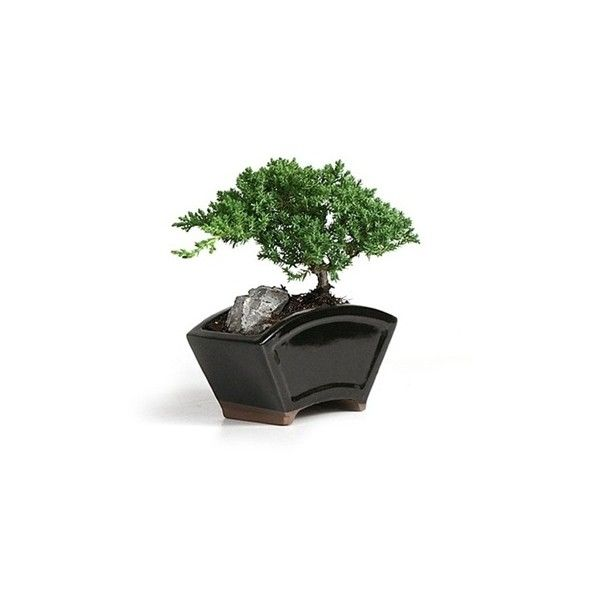Bonsai - Juniper Fan Style Bonsai Tree from EasternLeaf.com With the... ❤ liked on Polyvore