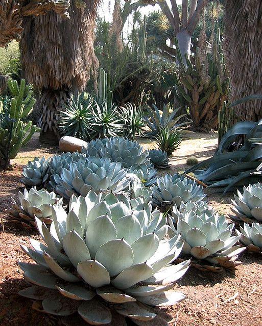 Cactus and Succulent Gardens-Huntington Gardens
