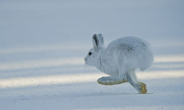 An arctic hare in the snow.