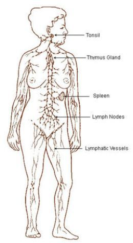17 Best Images About Lymphatic System On Pinterest Lymph