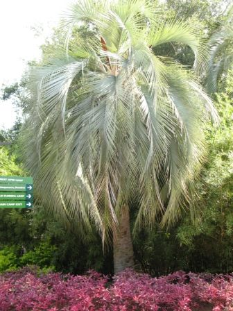 50 Best Images About Butia Capitata On Pinterest Growing