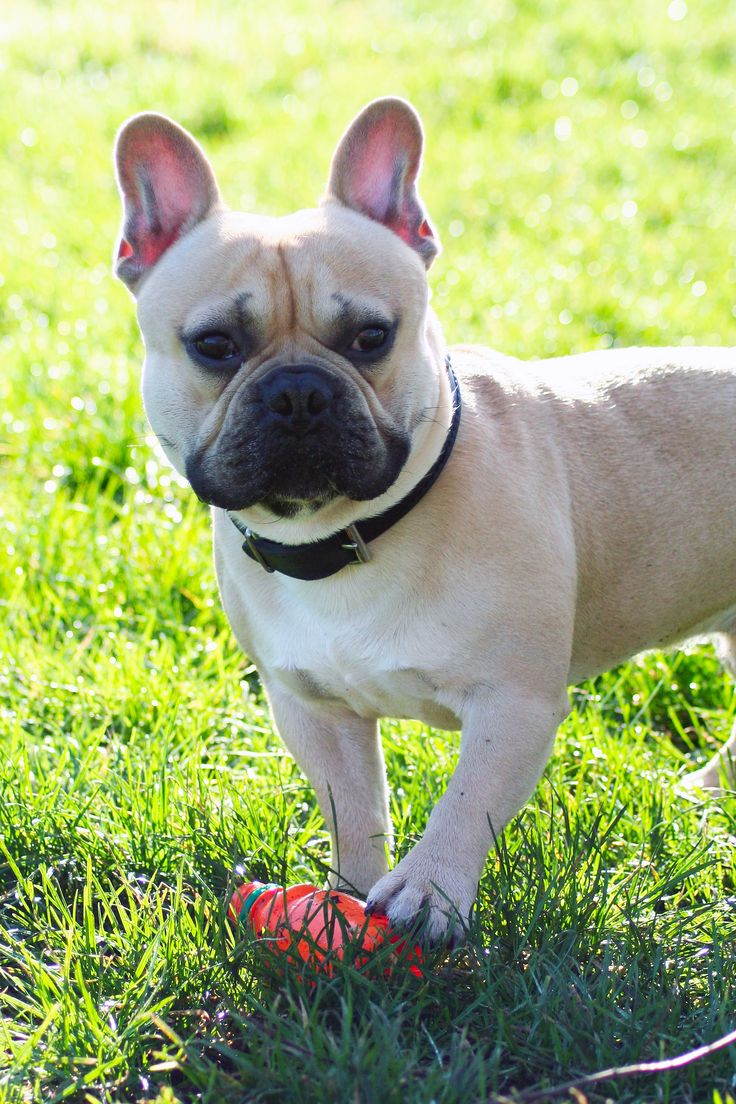 17 Best Images About Franse Bulldog On Pinterest Puppys