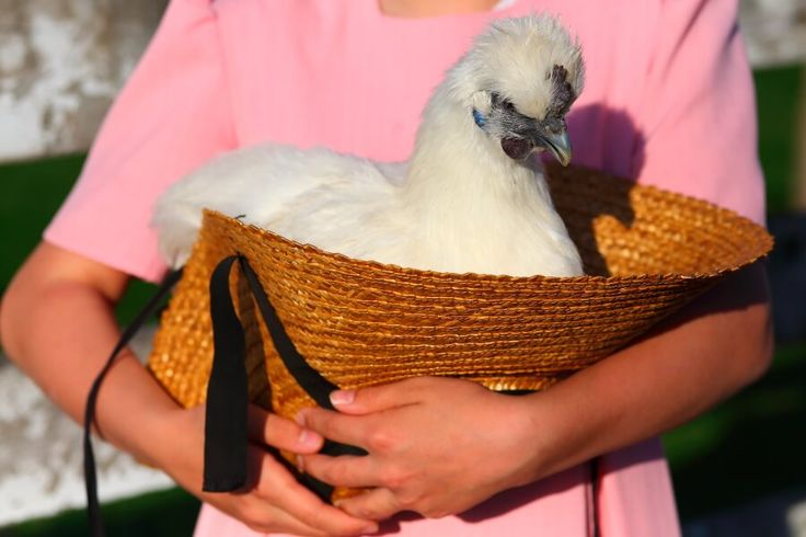 Cute, non-bearded day old baby white bantam Silkie chickens for sale by mail order. Quantity discounts! #chickens #backyardpoultry #fresheggs