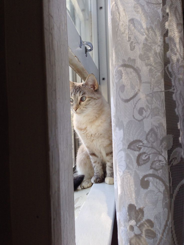 107 Best Lynx Point Siamese Images On Pinterest Kitty