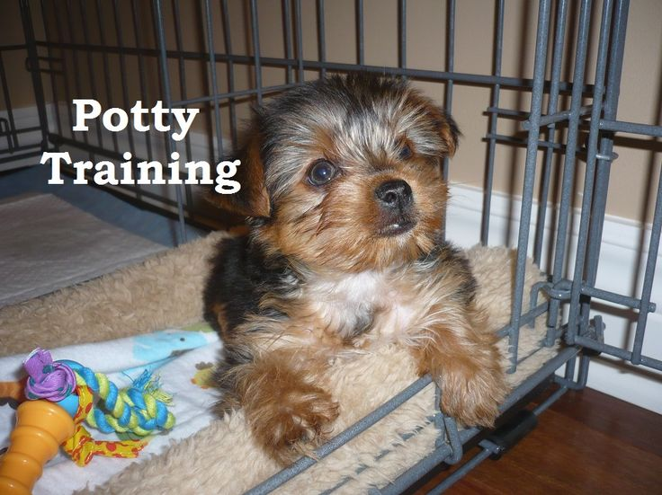 Morkie Puppies. How To Potty Train A Morkie Puppy. Morkie House Training Tips. Housebreaking Morkie Puppies Fast & Easy. Share this Pin with anyone needing to potty train a Morkie Puppy. Click on this link to watch our FREE world-famous video at ModernPuppies.com