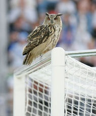 Six years ago, a big owl named Bubi put on a show in the Olympic Stadium during the EURO qualification match Finland vs Belgium. the match was cut off for approximately ten minutes. eventually Finland won 2-0, and since then the national team has been nicknamed The Big Owls.