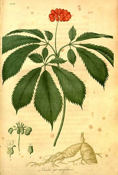 How to Identify American Ginseng: Easy Identification and Aging of American Ginseng