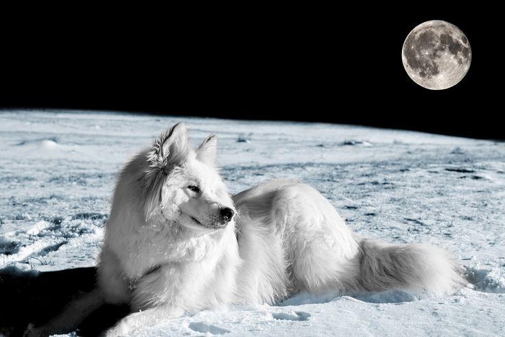 Biały pies i księżyc