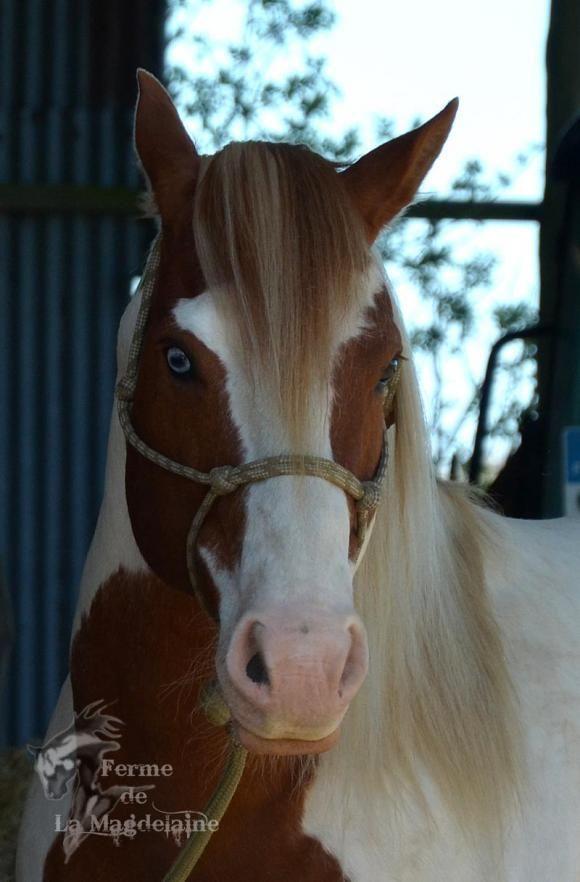 Etalon Paint Horse Mag One Choice, élevage de La Magdelaine