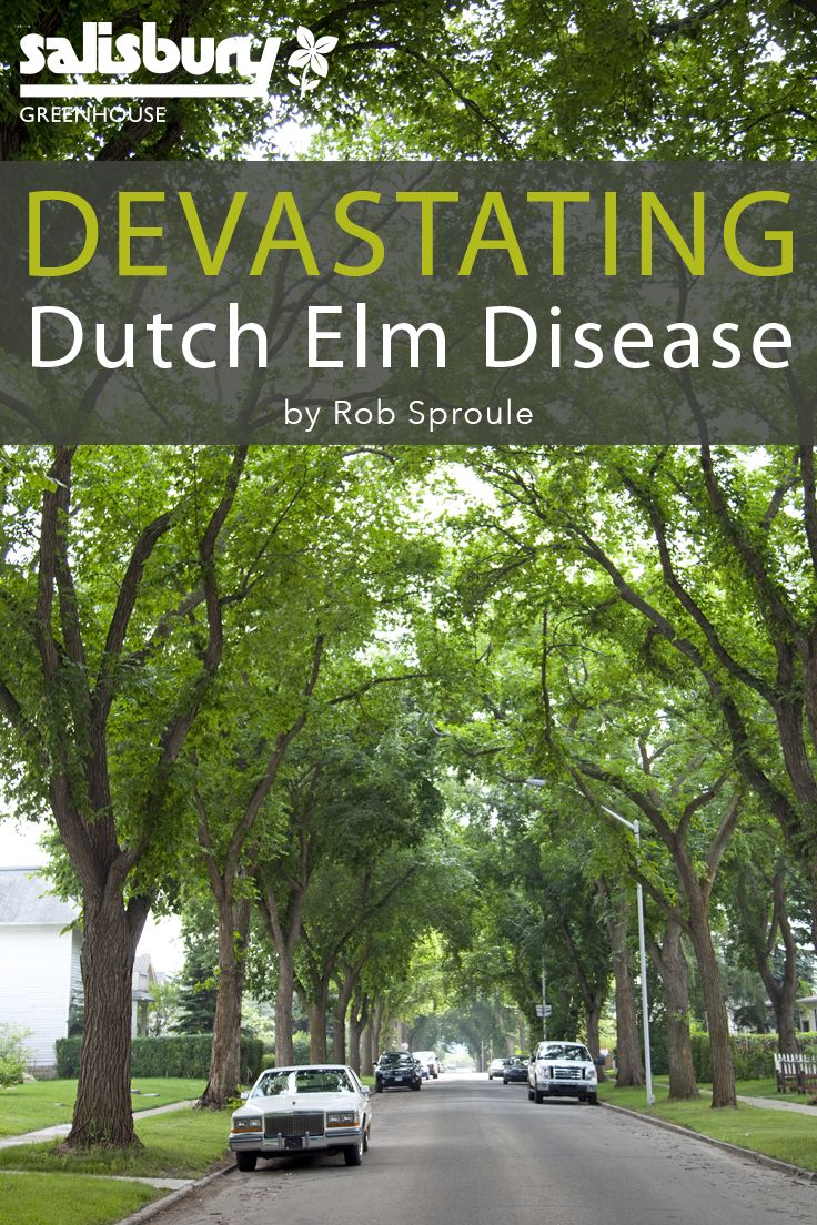Dutch #Elm Disease - History - What is it? - Spotting It - Controlling It - By Rob Sproule, Salisbury Greenhouse