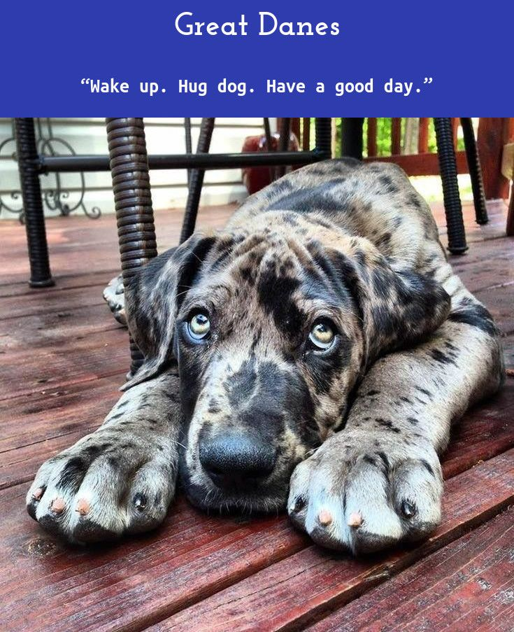 7 Best Dogs Breeds For People Allergies Great Dane Dogs Dane
