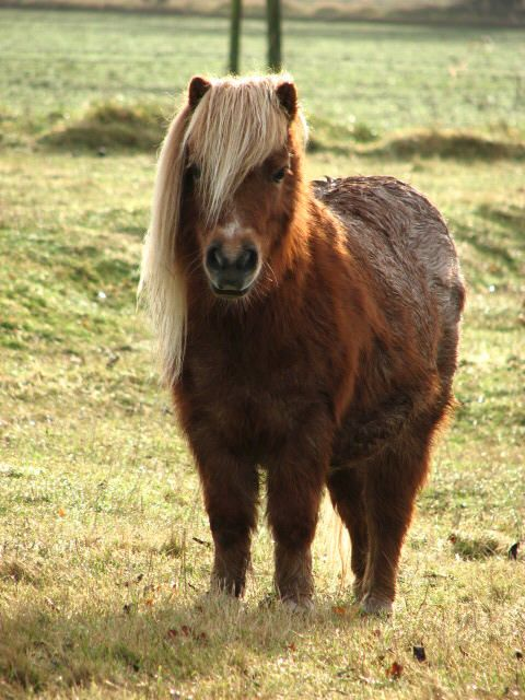 another shetland pony