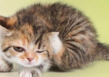 ¿Mi gato tiene ácaros en el oído?
