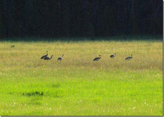 Sandhill cranes, near Stanley