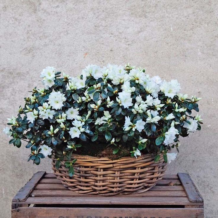 Envía una cesta de azaleas blancas a tus seres queridos. Una planta decorativa y duradera, presentada en una cesta de mimbre y decorada con musgo.