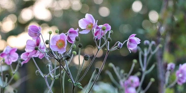 HAVEFOLKET: HØSTANEMONE juli-sep, halv skygge, evnt. under træer,kan klare svadderkål,sit eget bed- breder sig, op ad stakit, evnt. vinterdækket, plant forår