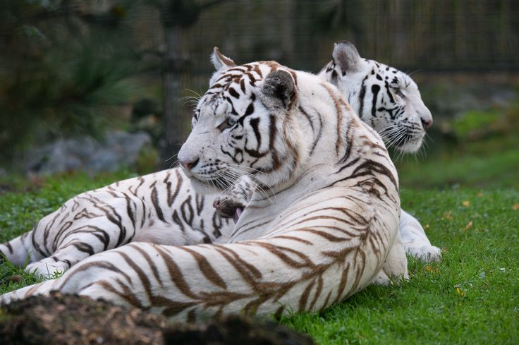 Harimau putih,Olga dan Ashka beristirahat di kebun binatangPessac-Bordeaux di Perancis.