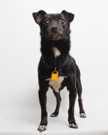 GIDEON ~ <3 5 yrs. Chihuahua & Terrier Mix • Adult • Male • Small. Santa Cruz SPCA, CA.  The Santa Cruz SPCA's adoption package for dogs and cats includes spay/neuter, vaccinations, microchip/registration, an ID tag, collar, coupons, a free health exam, 30 days of free pet health insurance, and other animal care materials.   Pet ID: 19189876 • Neutered • Shots Current.