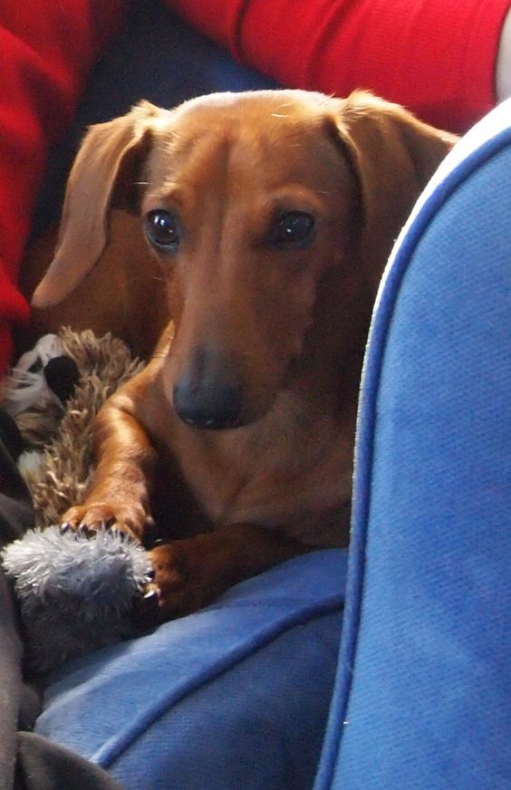 The peaceful beauty of a Dachshund ♥