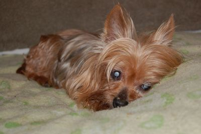 yorkie rescue arkansas blind penny a little yorkie in nh is in need of a home 293