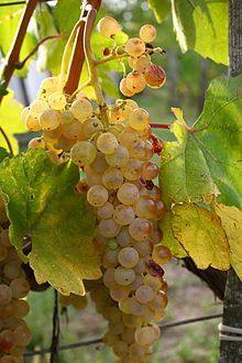 Harslevelű grape cluster.jpg
