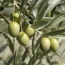 OUR INGREDIENT:   Australian Olive Oil - Moisturises and de-frizz hair.  Extracted from the crop of the olive tree.  Has natural anti-bacterial properties which helps to keep a healthy scalp. #purehairfood #hairproductingredients