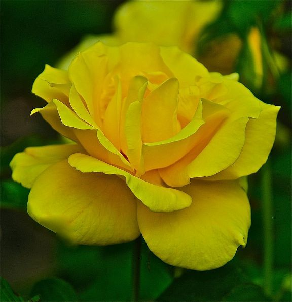 112 best yellow rose of texas images on pinterest yellow roses old roses and new hardy roses mightylinksfo