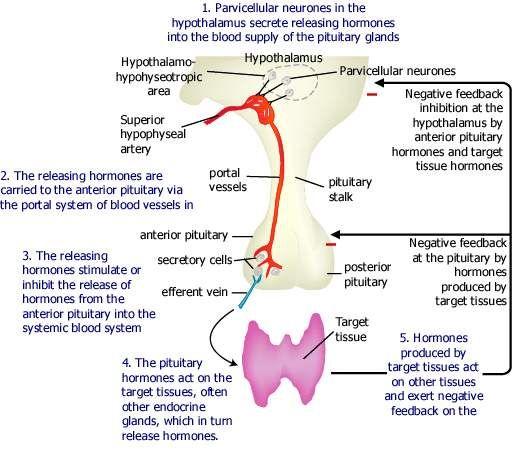 adrenal gland relationship to thyroid