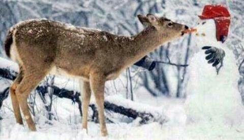 Deer eating snowman's nose