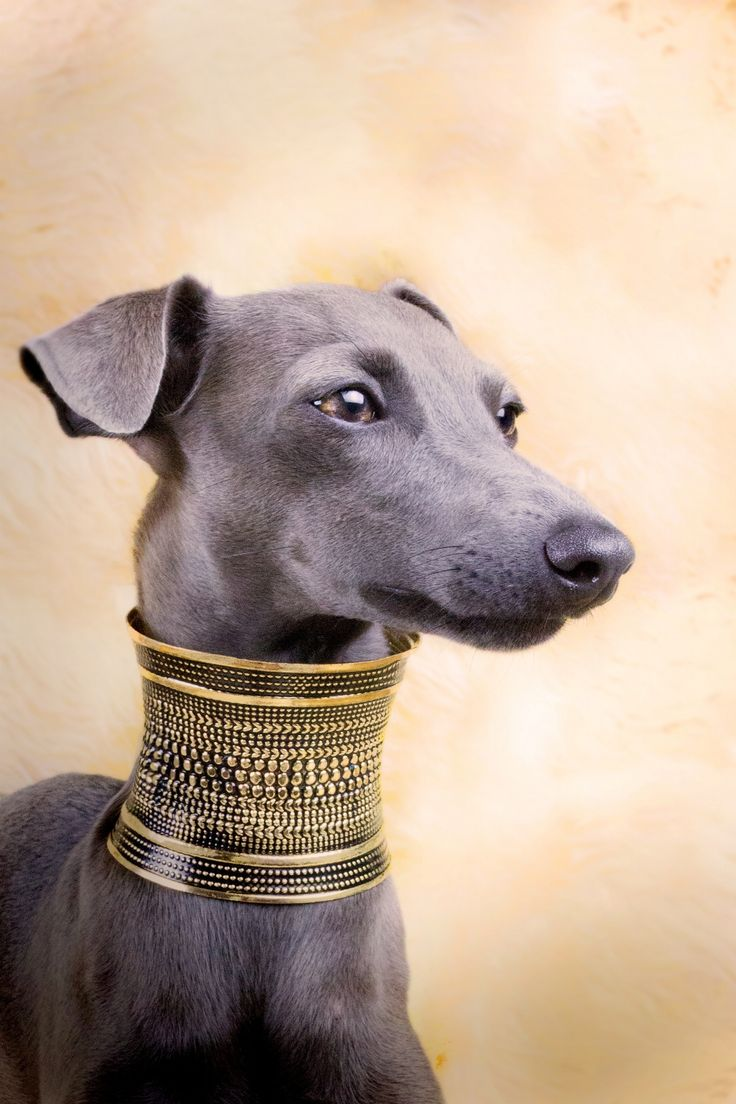 Egyptian greyhound by Alessandro Manco   Love Greyhounds ...