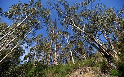 Ax could fall on San Carlos' historic eucalyptus trees