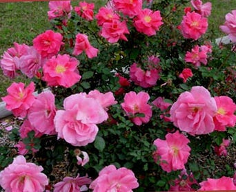 Carefree Beauty  ---  Popular variety by Griffith Buck, who was ahead of his time in creating tough, hardy, easy-care roses. Upright, 4-5ft. by 3-4ft., full of bloom. Semi-double, mid to light pink flowers (3-4.5in., 15-20 petals). A classic. EarthKind. Buck, 1977.: Gardening Goodness, Beauty Rose, No Spray Roses, Fragrant Flowers, Light Pink Flowers, Flowers 3 4 5In, Easy Care Roses, Garden Info