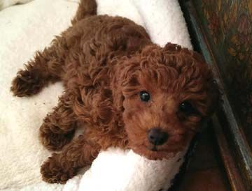 Miniature poodle puppies bc