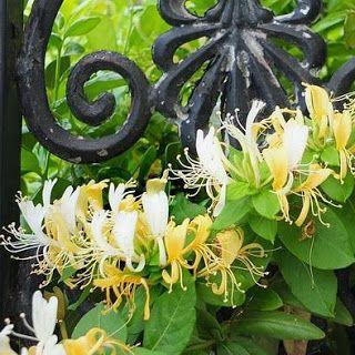 Stella Crown Elixirs: το αγιόκλημα των παιδικών μας χρόνων (honeysuckle, Lonicera caprifolium)  #herbs #seeds #flowers #essential_oils #healthylife #benefits #properties #vegan #aromatherapy #massageoils #natural_beauty #natural_cosmetics #antibacterial #antibiotic #iasis #anaplasis #anti_stress #skincare #beauty_elixirs #recipe_share #recipe_ideas #recipe_blog #beauty_blog #φυσικά_καλλυντικά #stella_crown