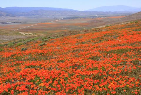 poppy reserve in Antelope Valley