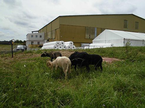 les moutons de GreenSHeep en paturage