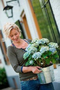 Toveren met tuinhortensia - FemNa40  Opvallend kleurenspel van Magical-hortensia Een Magical-hortensia kan echt toveren.  De vele bloemen veranderen in één jaar zeker drie tot vier keer van kleur.