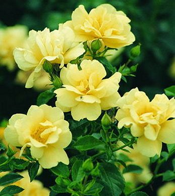 Yellow Carpet Rose - I have these in deep red around our gas lamp post!  show up beautifully.