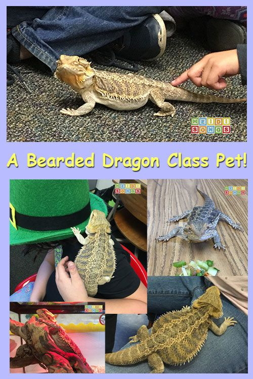 Classroom Pet Ideas : A bearded dragon class pet reptiles and dragons