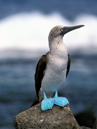 Blue Footed Booby, Galapagos Islands  ♥ ♥ www.paintingyouwithwords.com