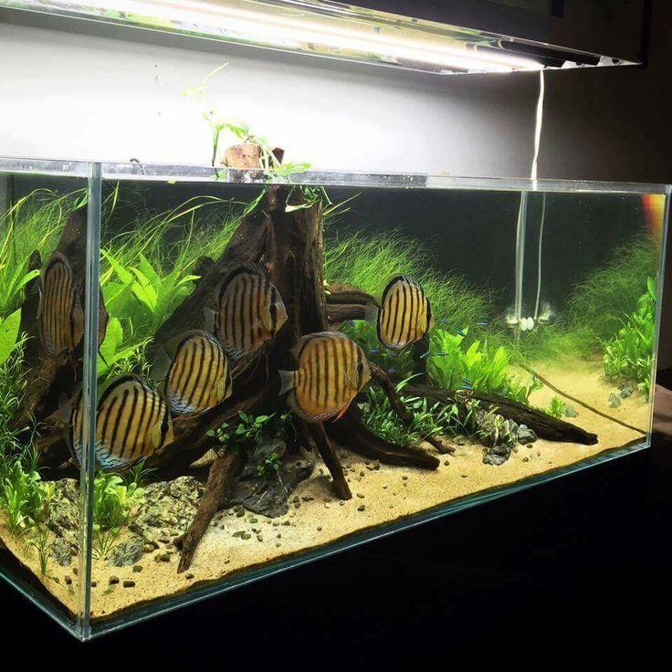 best 25 discus aquarium ideas on pinterest aquarium