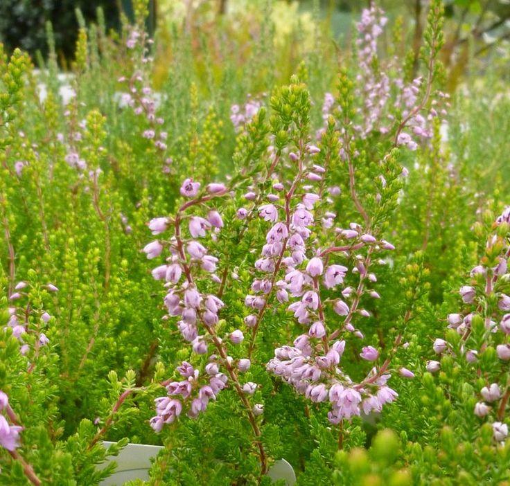 Buy Calluna vulgaris Spring Torch (Scots Heather) online