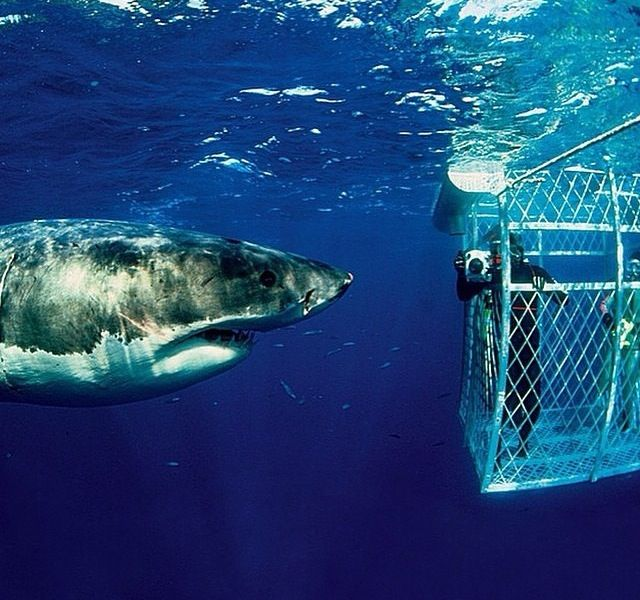 Shark cage diving!