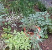 Tips for Growing a Kitchen Herb Garden - Culinary Herbs