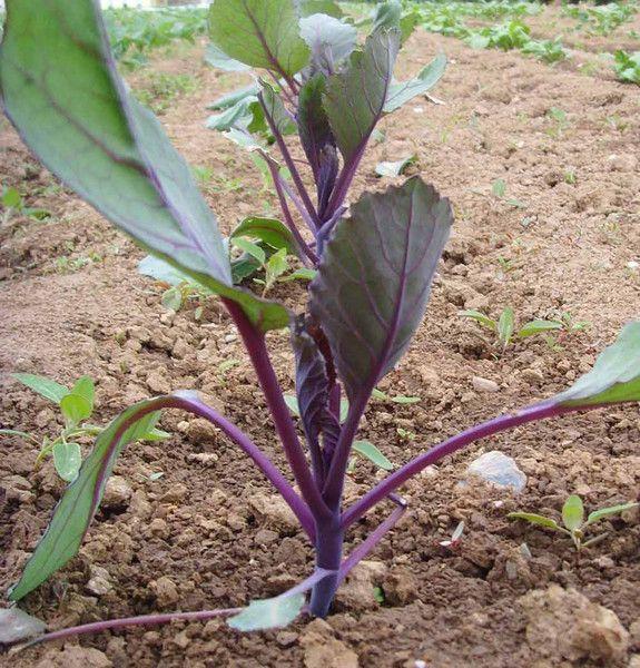 meine ernte: Rotkohl anbauen, pflegen, ernten und lagern