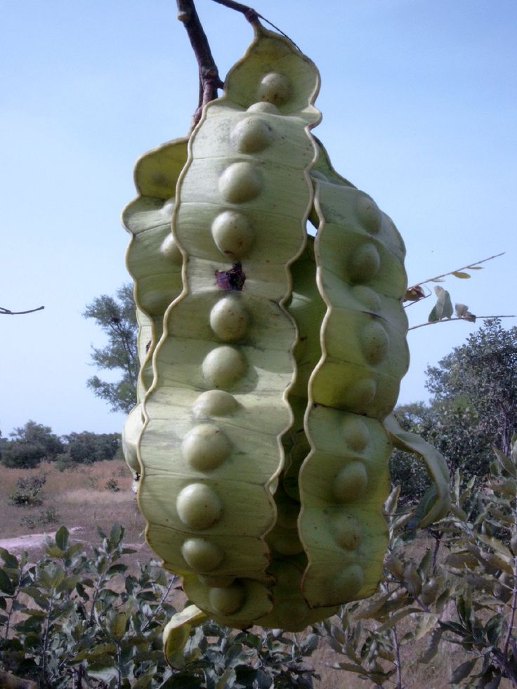 Ndende, Twatsa (Entada africana) Seed pods. Various parts of the tree have many…