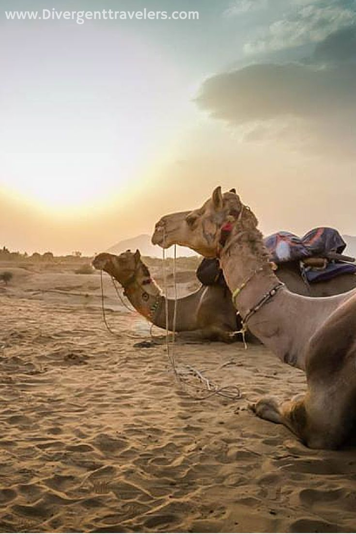Explore India from the back of a Camel. One of the best sunset walks in the world is just three hours on a back of a camel. http://www.divergenttravelers.com/