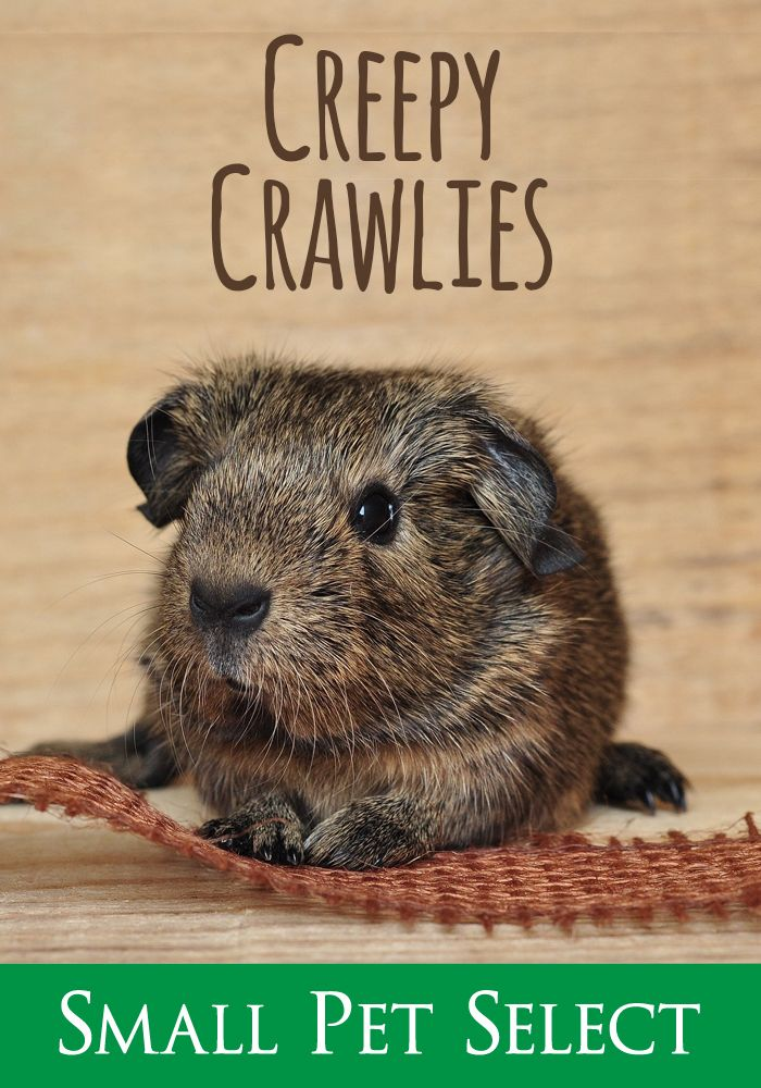 Creepy Crawlies Lice, Mites, and Fleas \u2026 oh my! Guinea Pigs